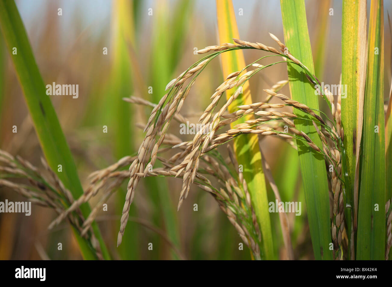 Rice seed for planting - Ripe Rice Grain Seed On The Plant In A Paddy Field Ready For Harvesting In India