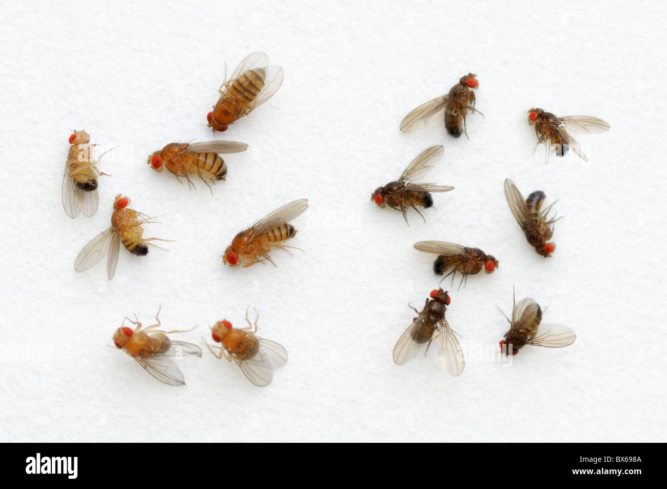 Fruit Fly Drosophila Melanogaster Color Variation On