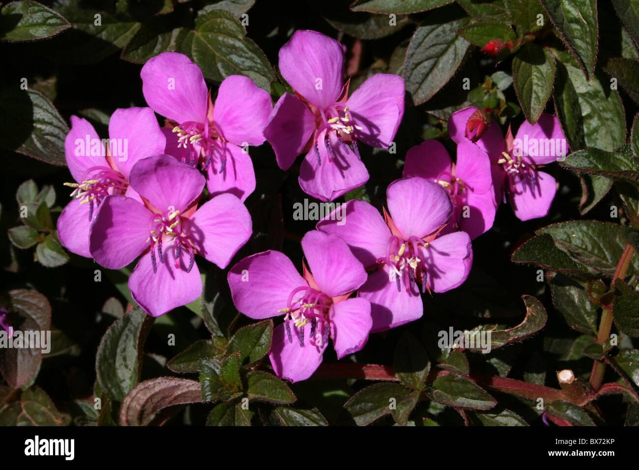 Shrub bush pink purple stock photos shrub bush pink purple stock pink purple flowering shrub spanish shawl heterocentron elegans taken in addis ababa ethiopia dhlflorist Choice Image