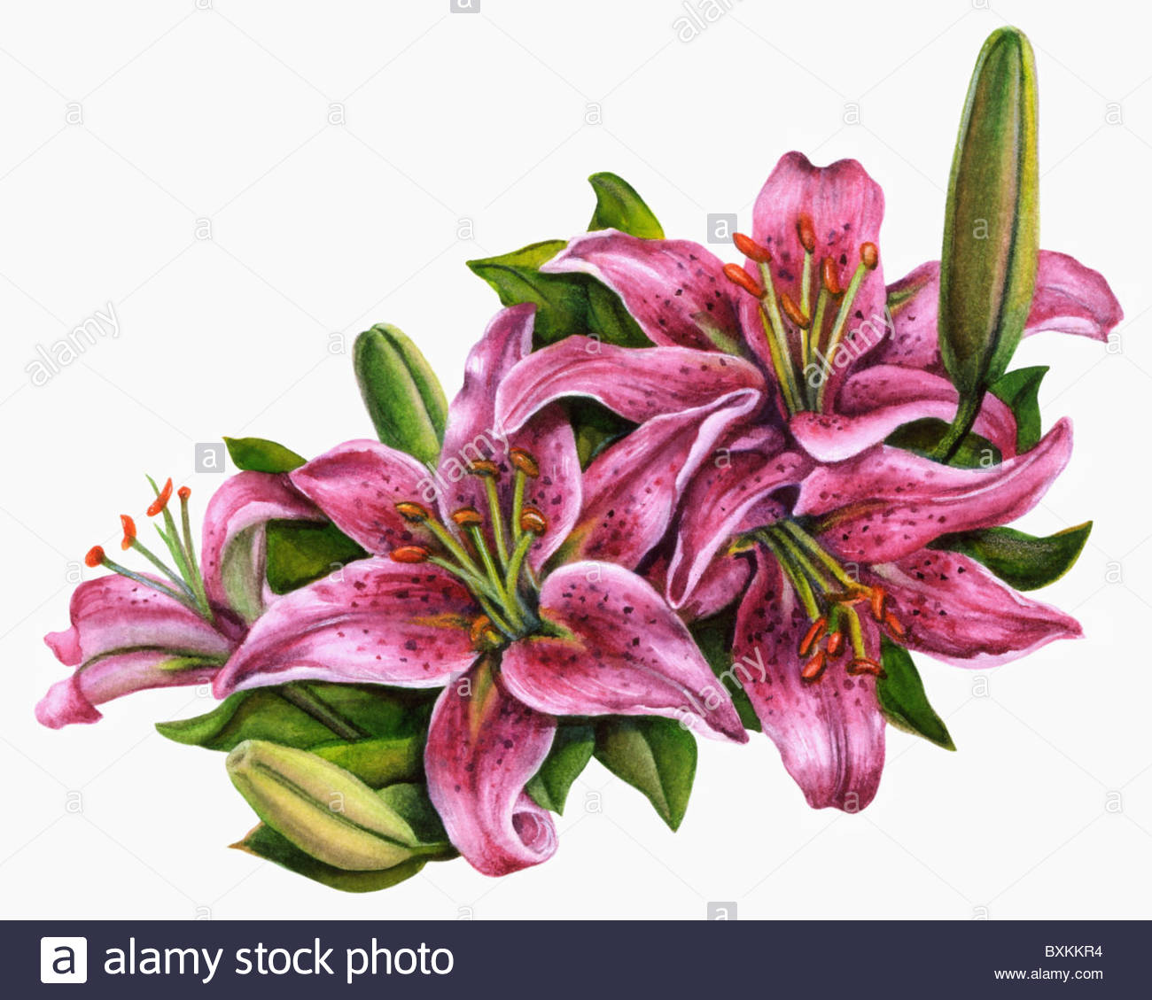 tiger lillies stock photo, royalty free image   alamy, Beautiful flower