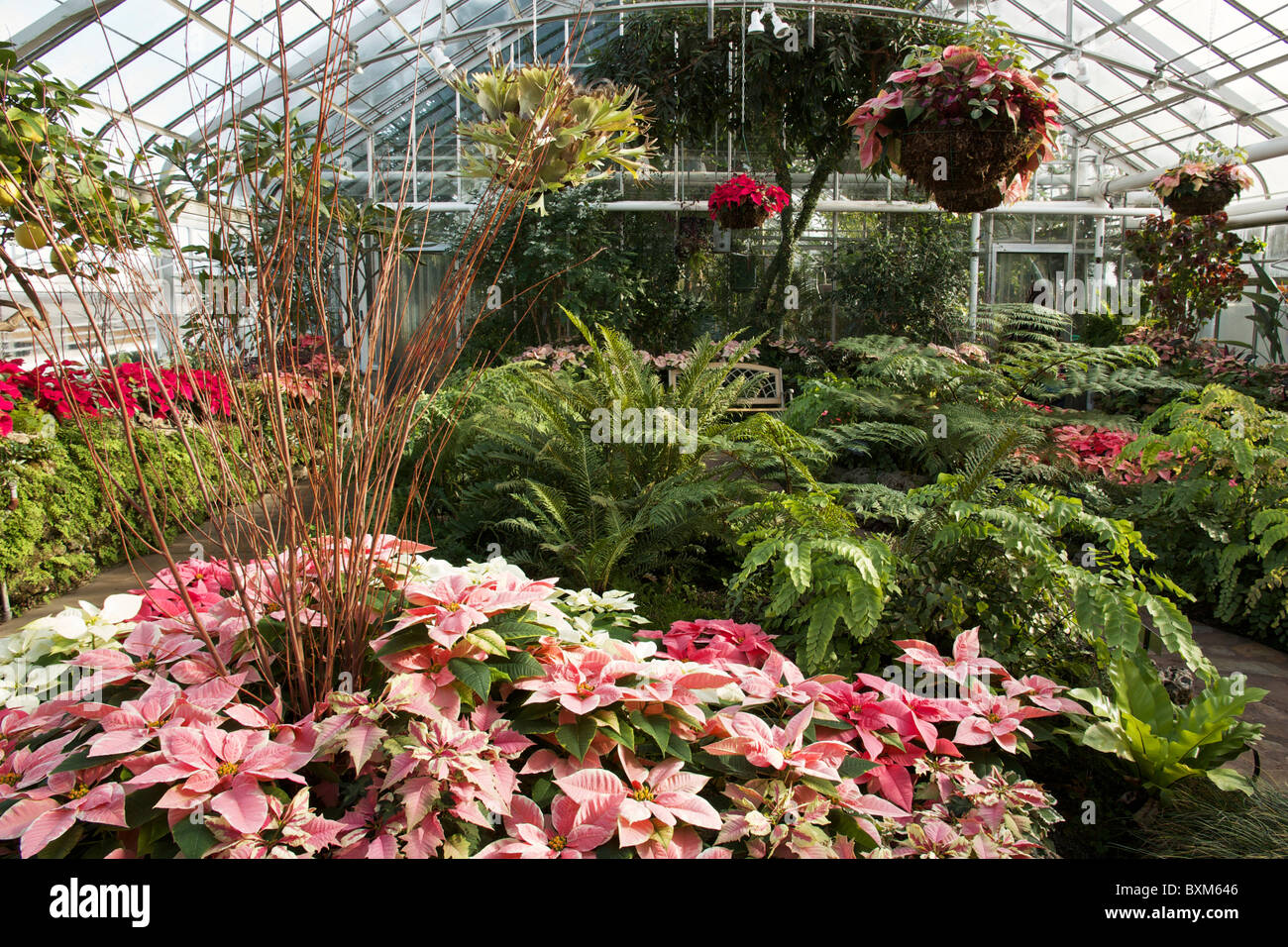 Captivating Oak Park Conservatory, Illinois. Poinsettias On Display At Christmas