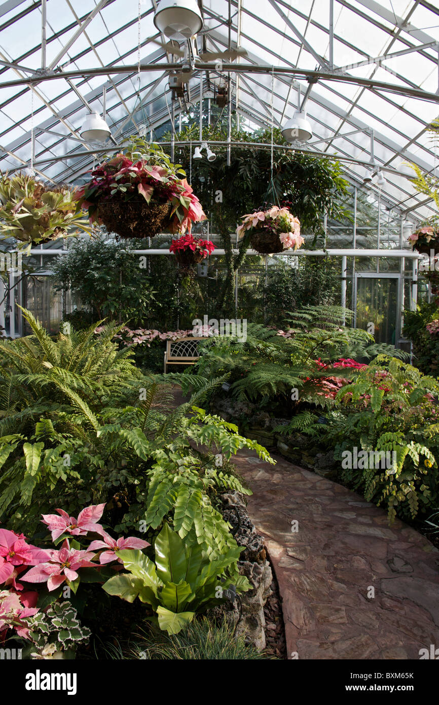 Oak Park Conservatory. Poinsettias On Display At Christmas