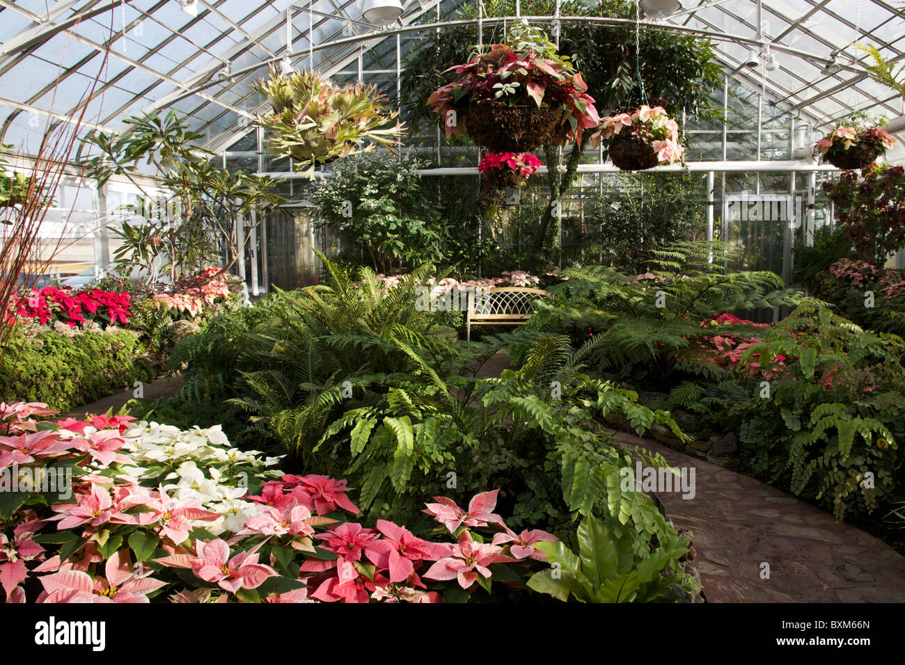 Oak Park Conservatory. Poinsettias On Display At Christmas.