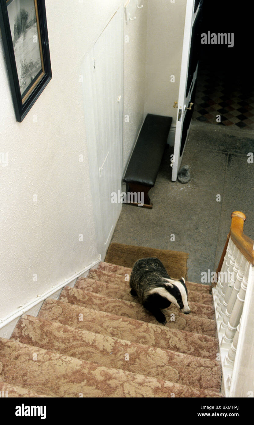 Bold And Curious European Badger (Meles Meles) Climbing Stairs Inside House,  Somerset, UK