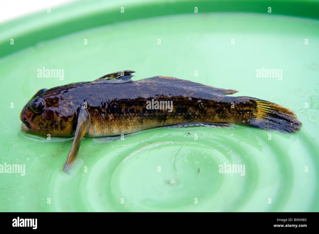 Round Goby Freshwater Fish Is An Invasive Species Found In