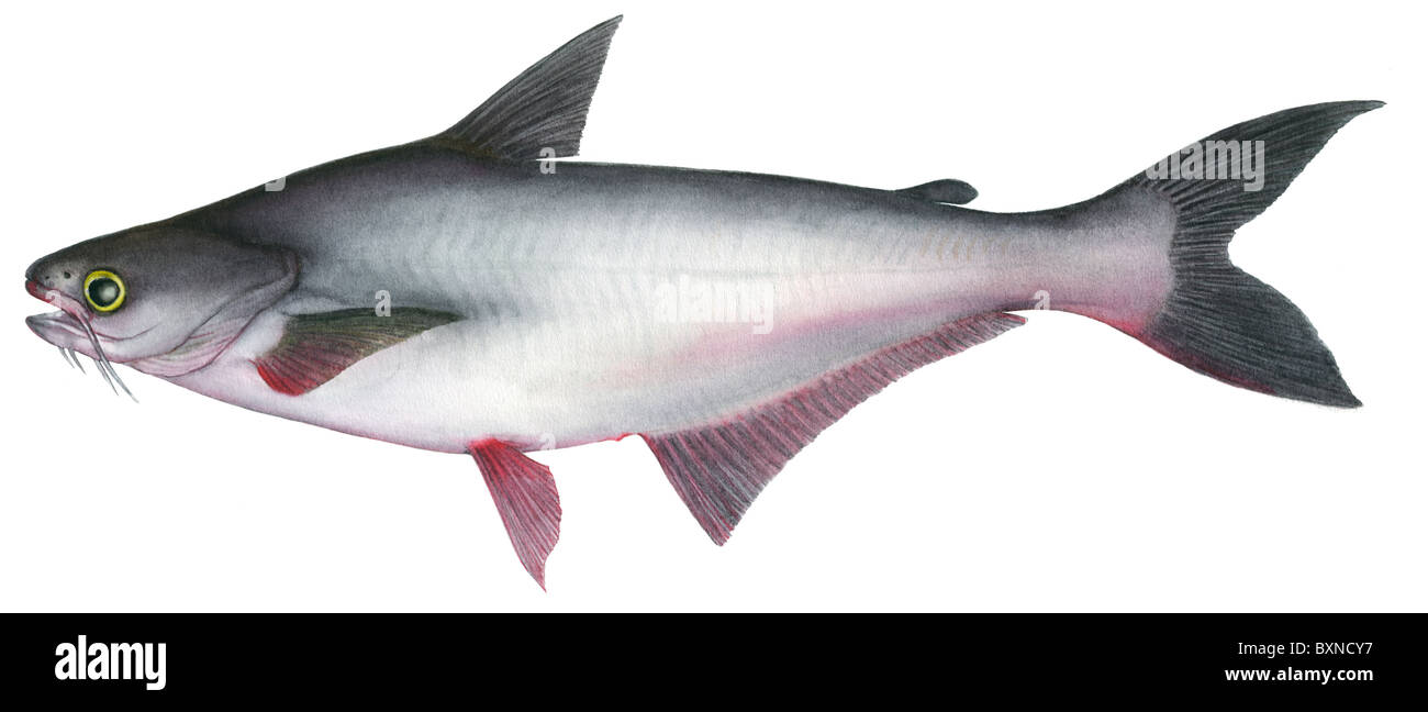 Pangasius striped catfish pangasianodon hypophthalmus for What is pangasius fish
