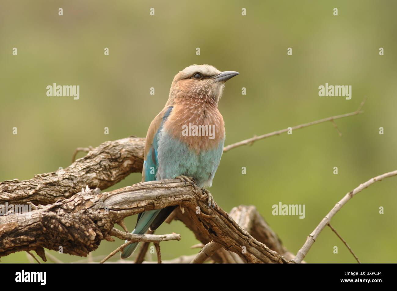 European roller bird
