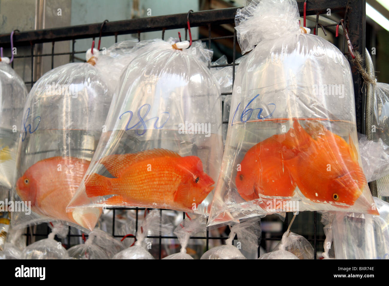 Aquarium pet shop selling goldfish in plastic bags in the for Fish in a bag