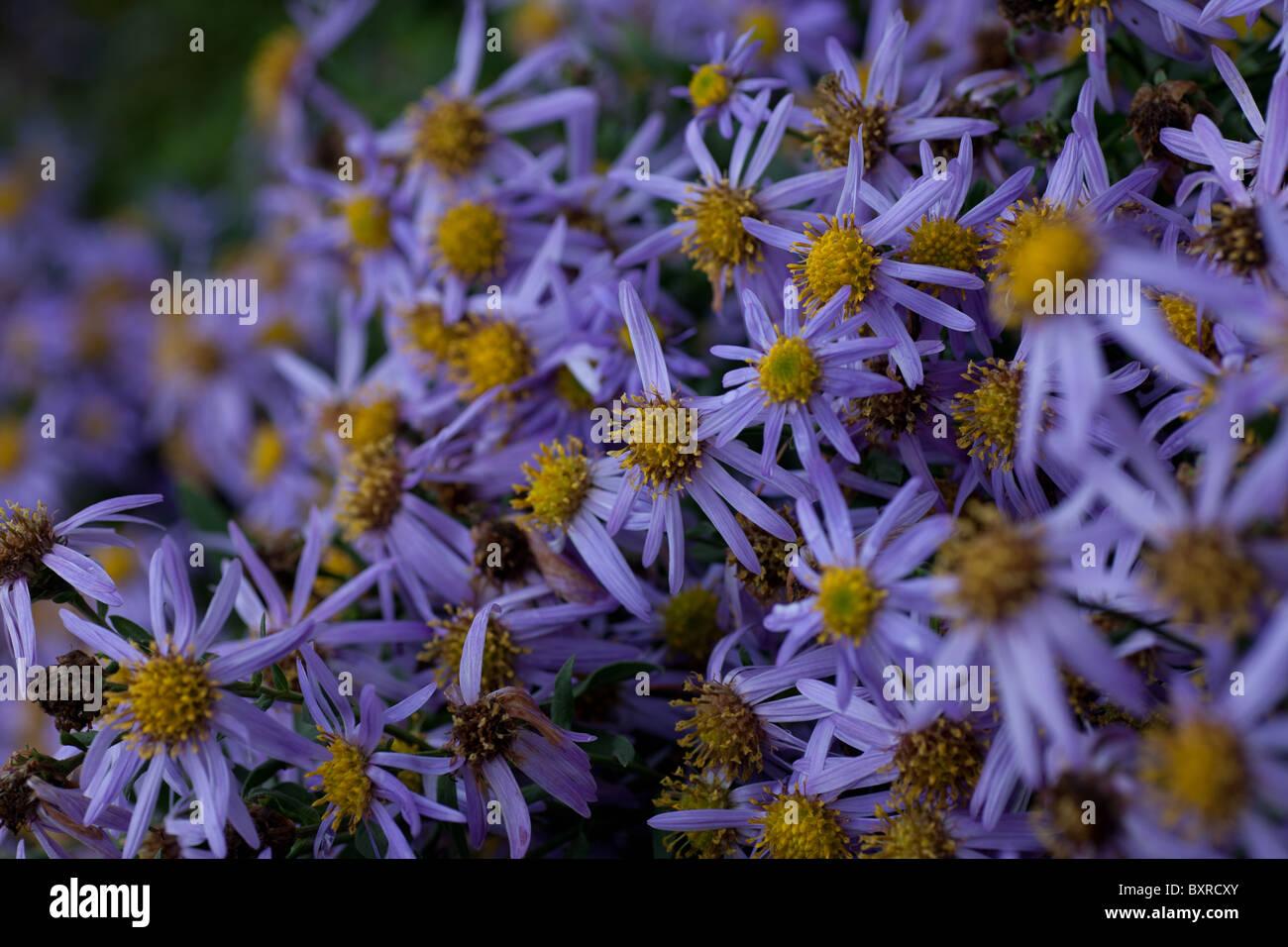 Purple daisy type flowers stock photos purple daisy type flowers purple daisy type flowers in a bush stock image dhlflorist Images