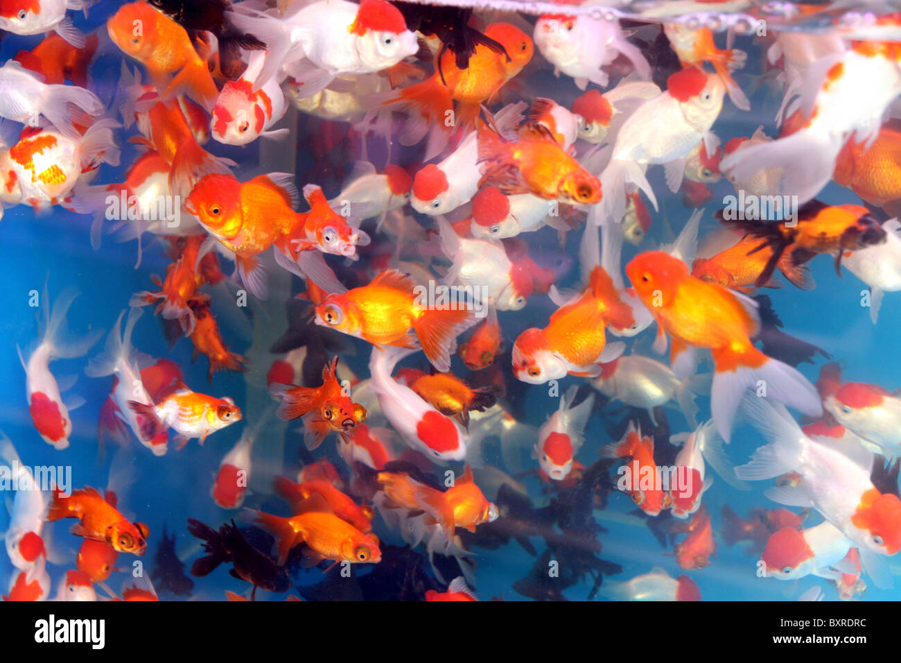 Aquarium pet shop selling goldfish in plastic bags in the for Pet koi fish tank