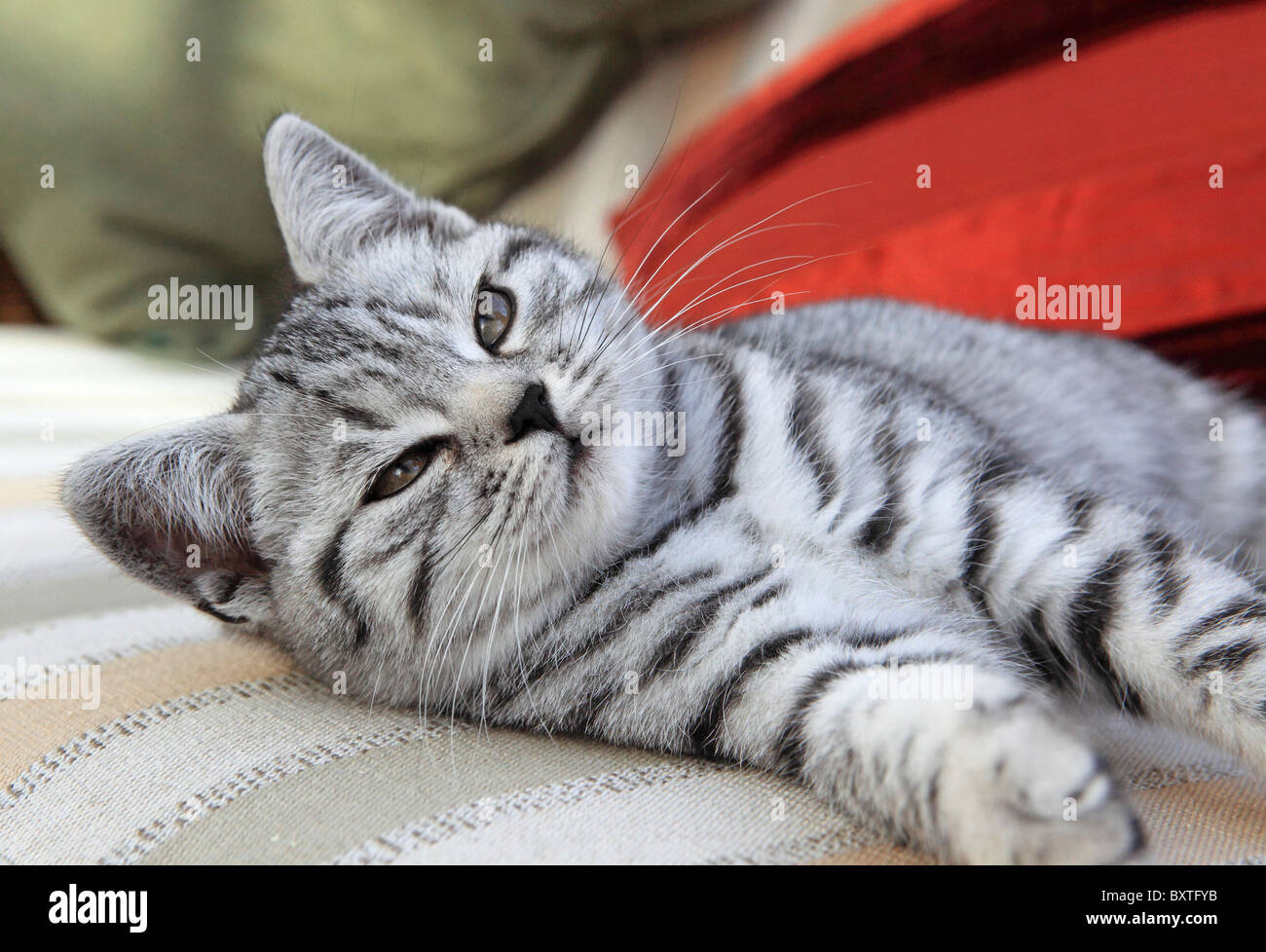 British Shorthair Silver Spotted Kitten 3 Months Old Stock