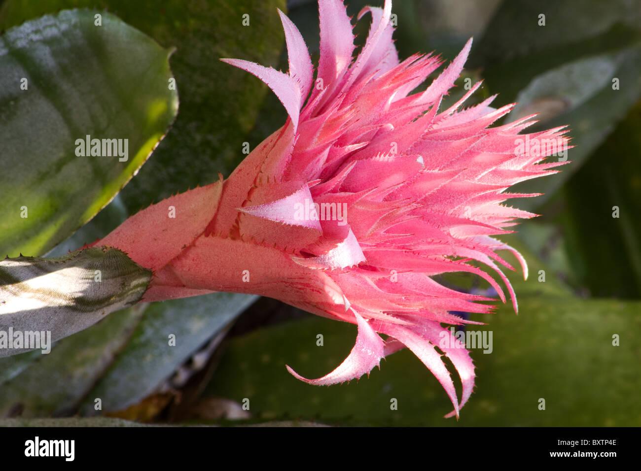 Close up of silver vase plant aechmea fasciata bromeliad flower close up of silver vase plant aechmea fasciata bromeliad flower reviewsmspy