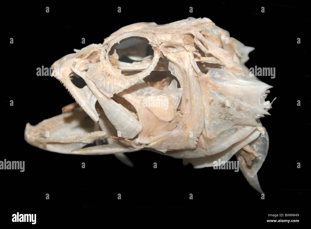 Fish skull anatomy 8388115 - follow4more.info