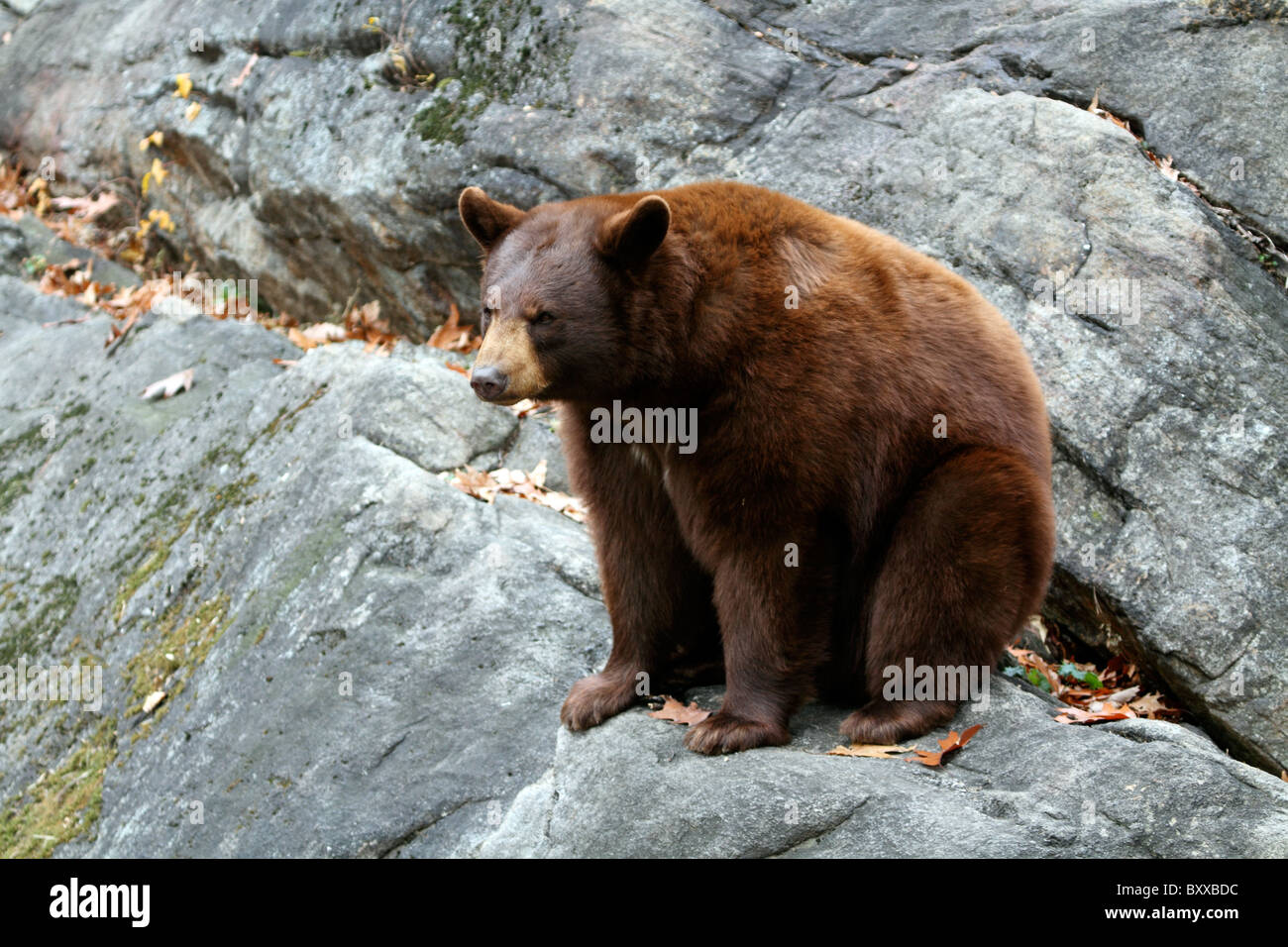 An American Black Bear Ursus Americanus At The Trailside Museums - Black museums in usa