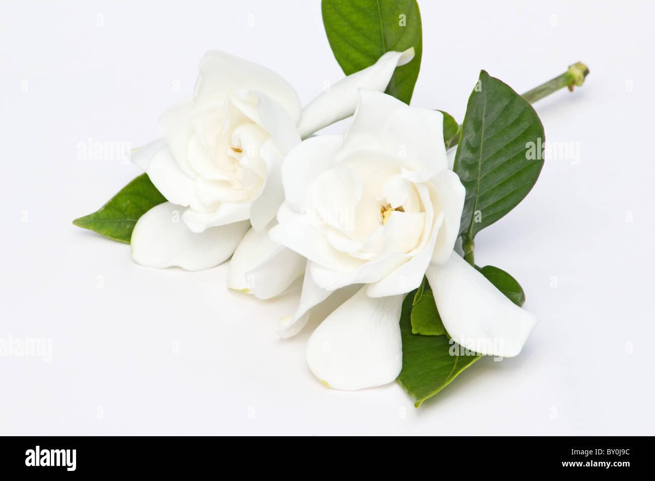 Close Up Of Gardenia Flowers (gardenia Jasminoides) On White Background