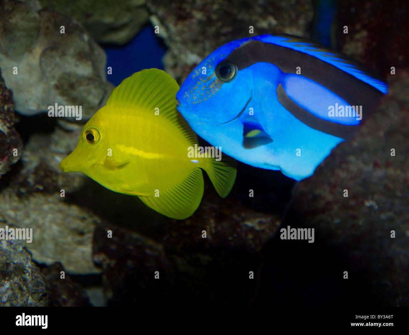 Yellow tang and blue tang tropical fish from hawaii stock for Yellow tang fish