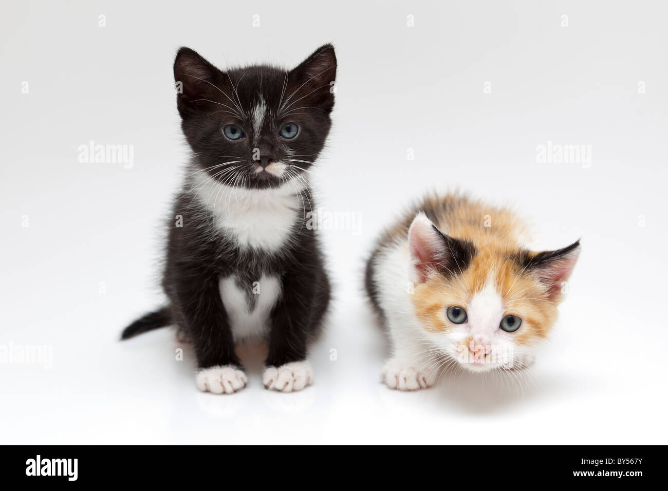 two small cats on white background a cat is black and another