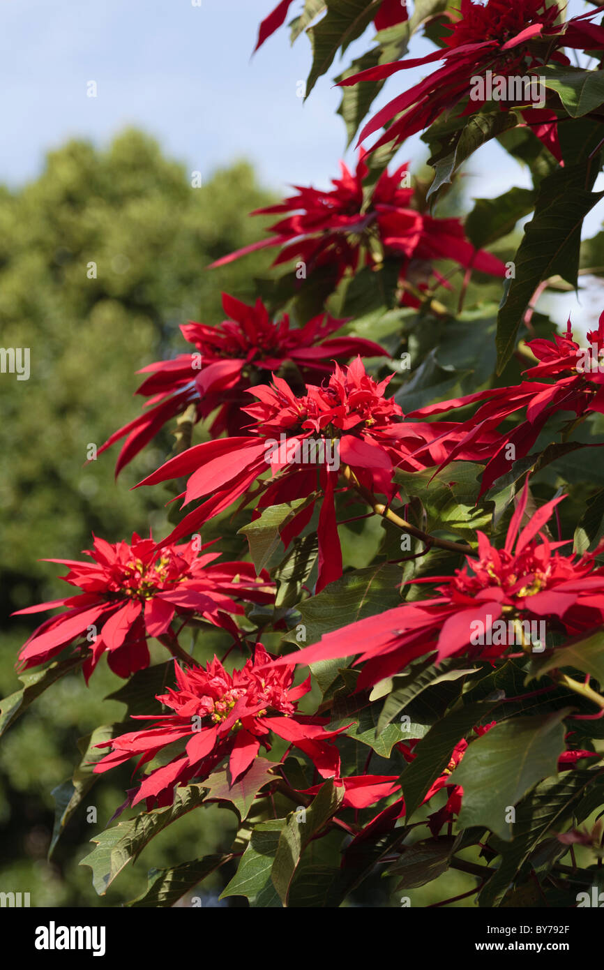 poinsettia or christmas plant growing wild in tenerife canary