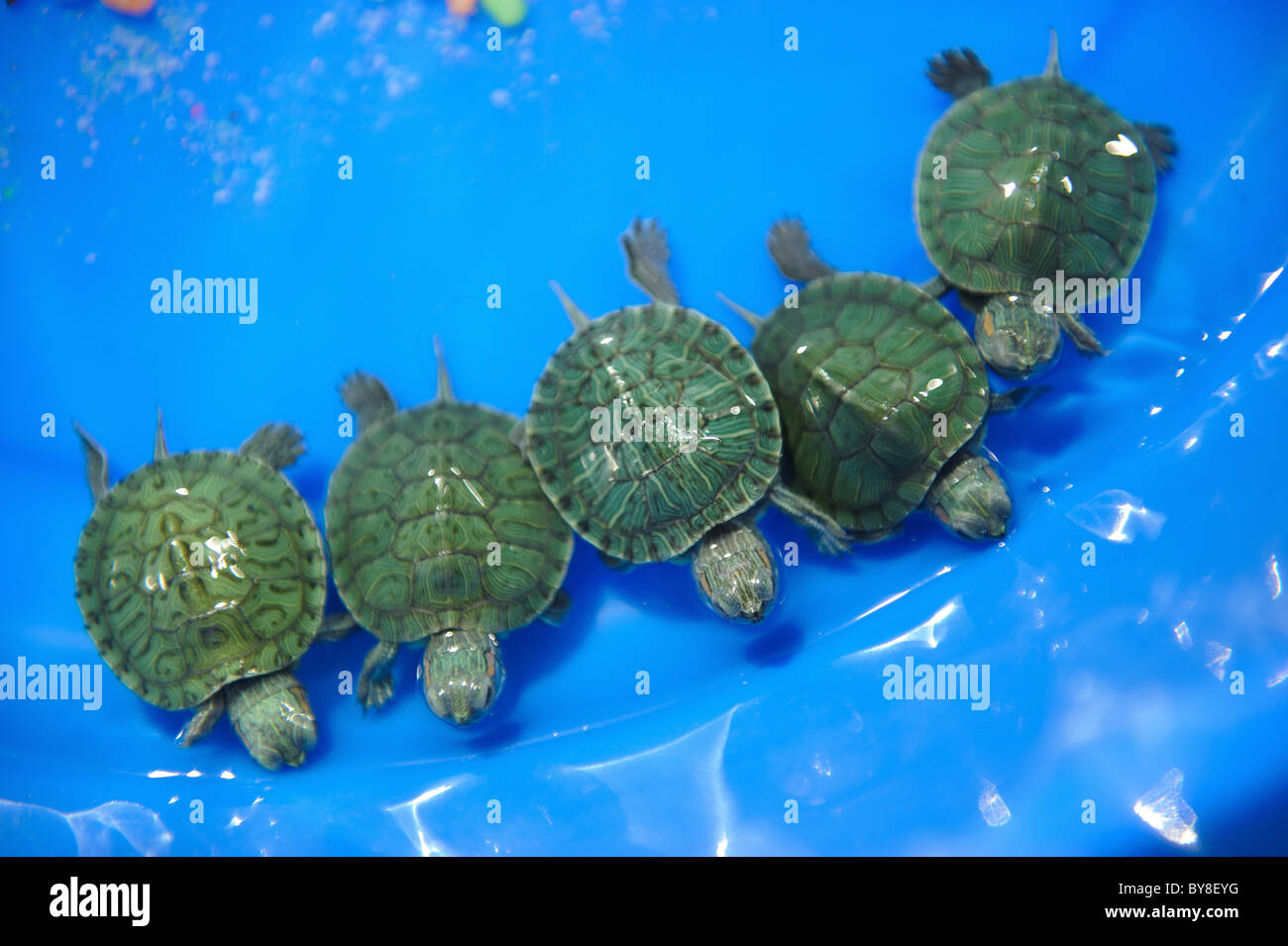 five small turtles on sale in souq waqif in doha in the state of
