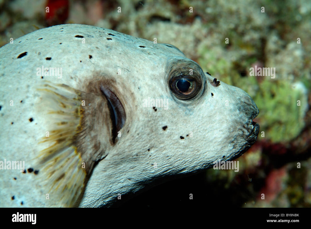 Blackspotted puffer fish or dog faced puffer arothron for Dog face puffer fish