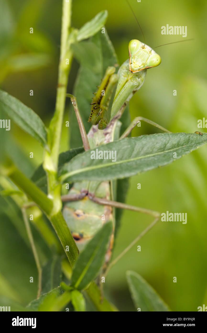 Praying Mantis Asia Stock Photos & Praying Mantis Asia Stock ...