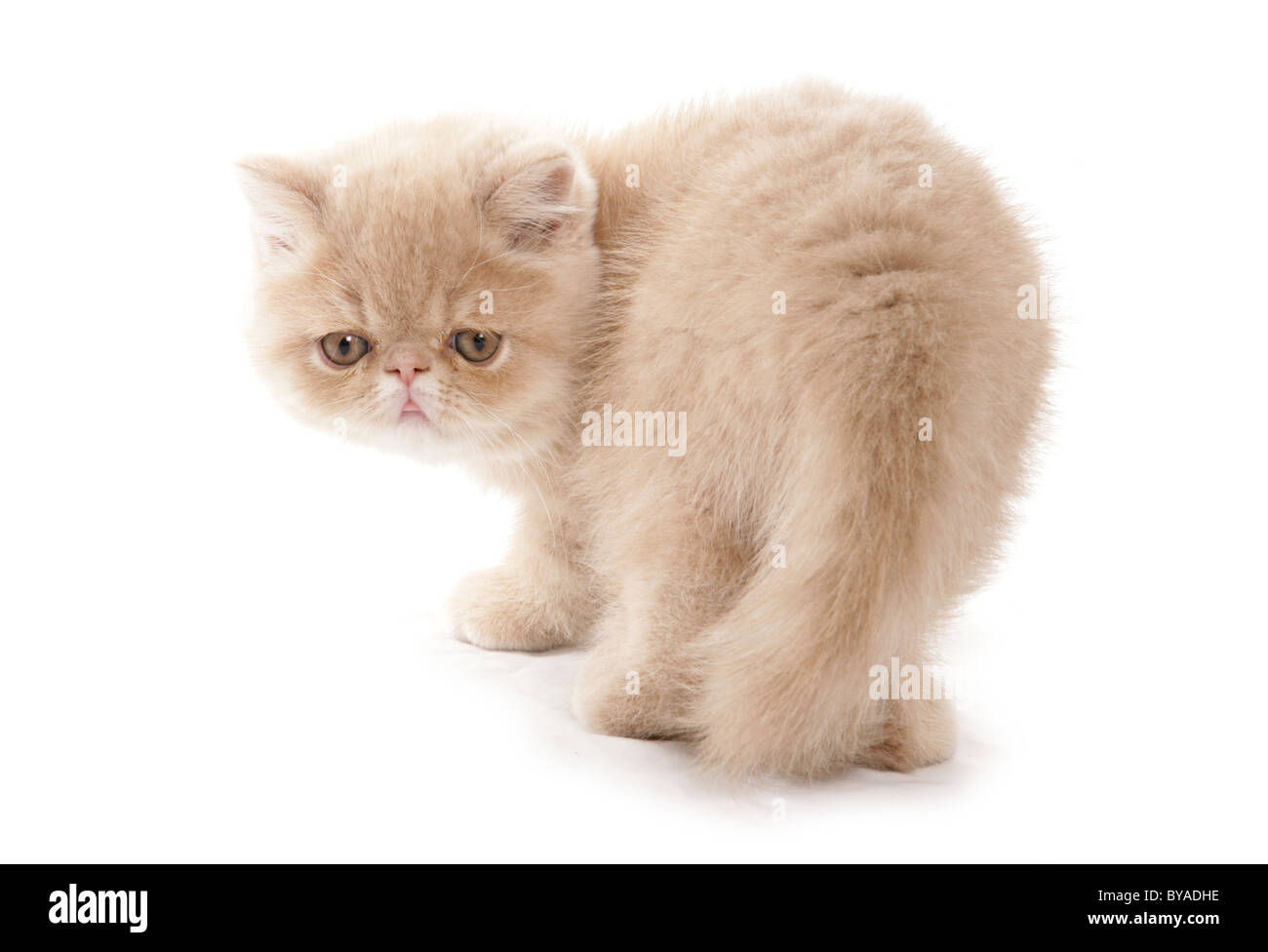 Cream exotic shorthair kitten Portrait in a studio Stock