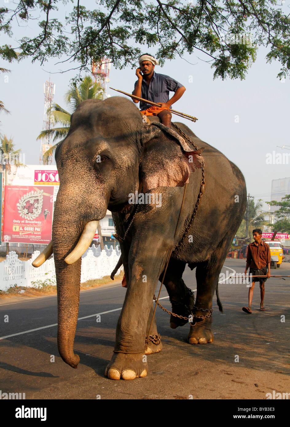 Asian elephant (Elephas maximus), working elephant on the ...