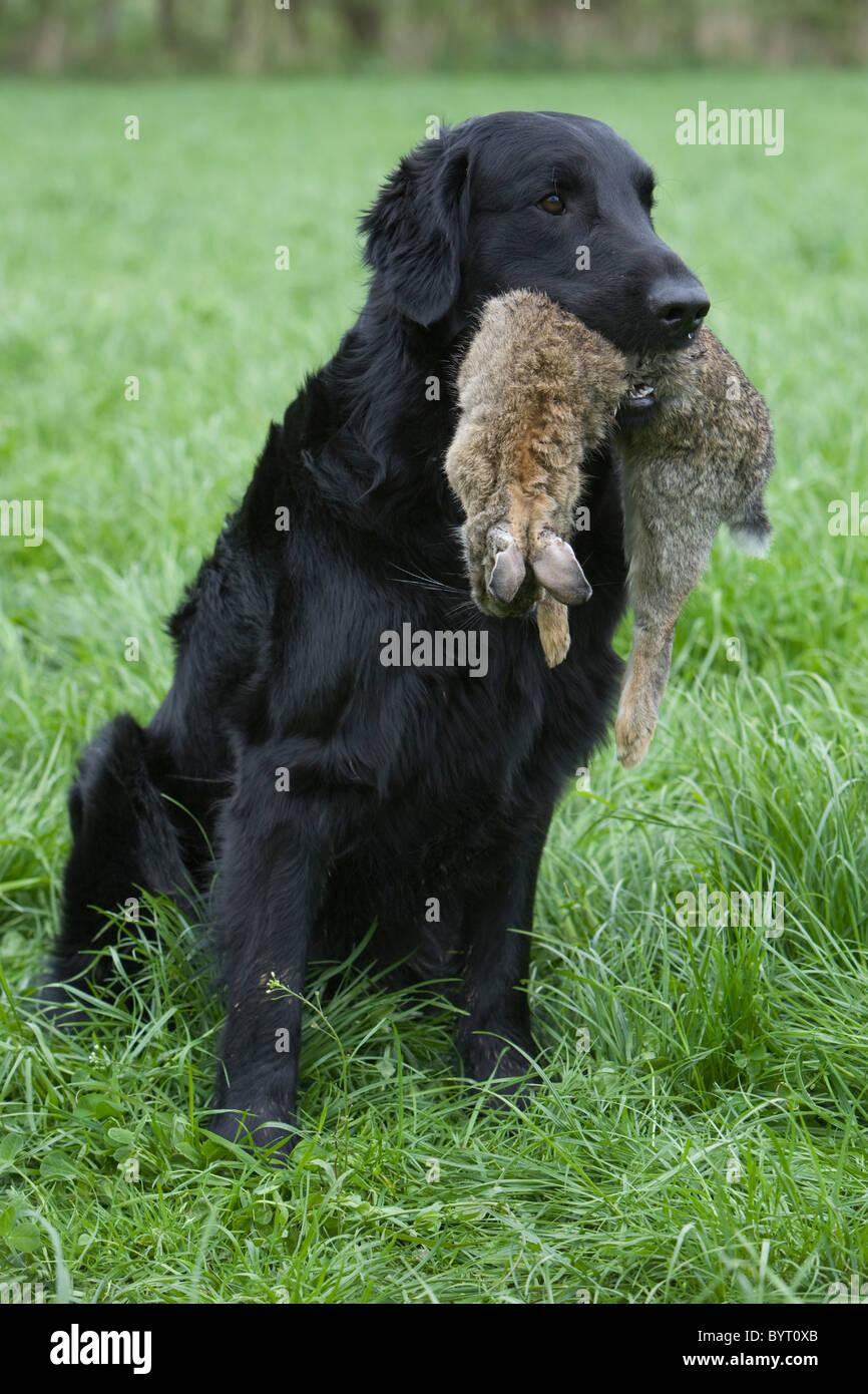 Hunting Flat Coated Retriever Stock Photo, Royalty Free Image ...