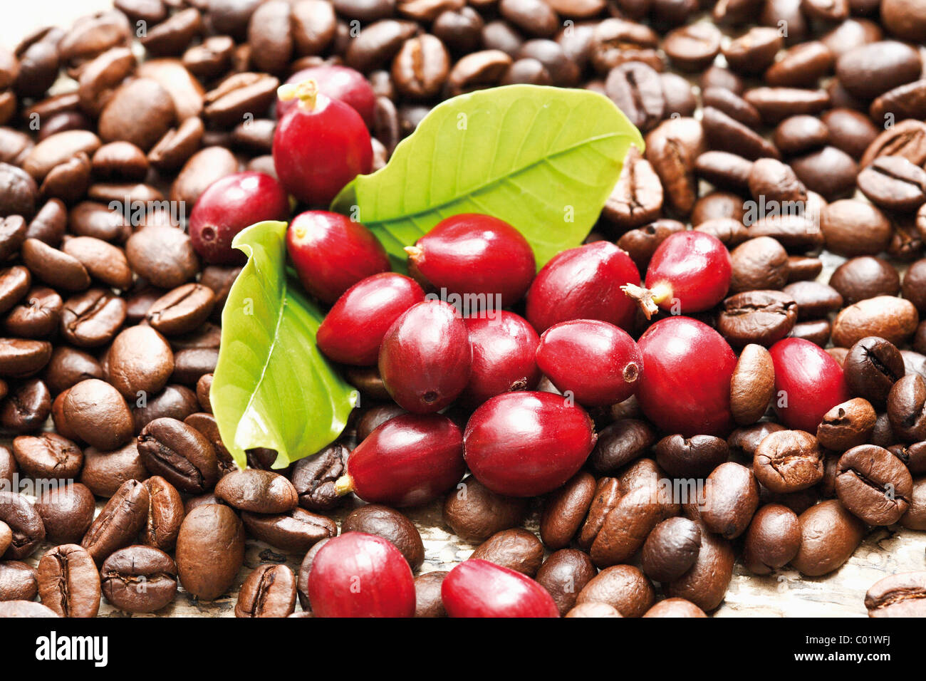 Red coffee berries coffea arabica on a bed of coffee - Coffea arabica ...