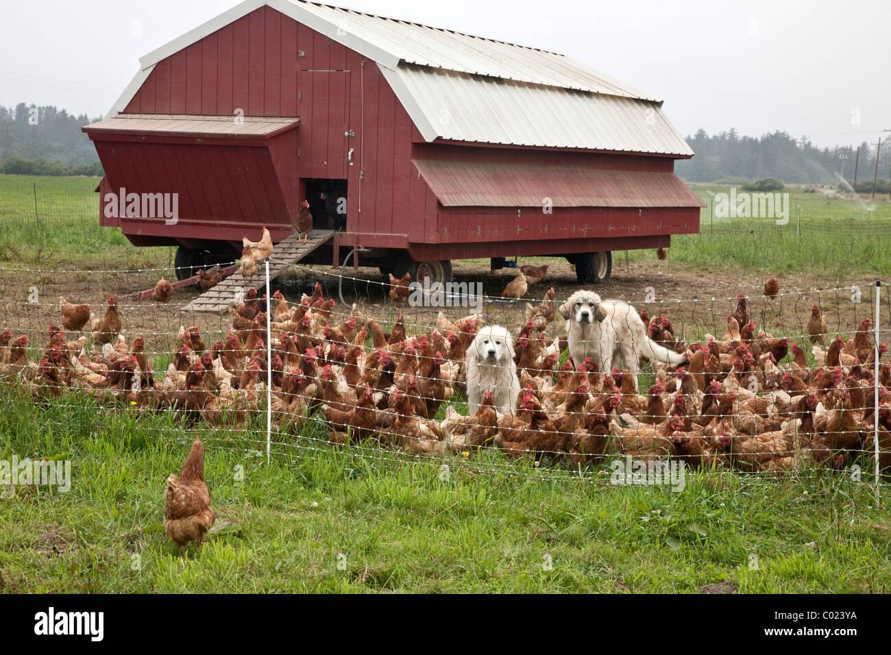 Free Range Chickens, Portable Housing.