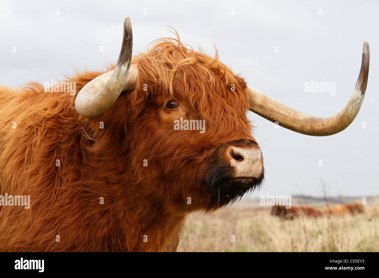 a highland cow with one eye looking at the viewer stock photo