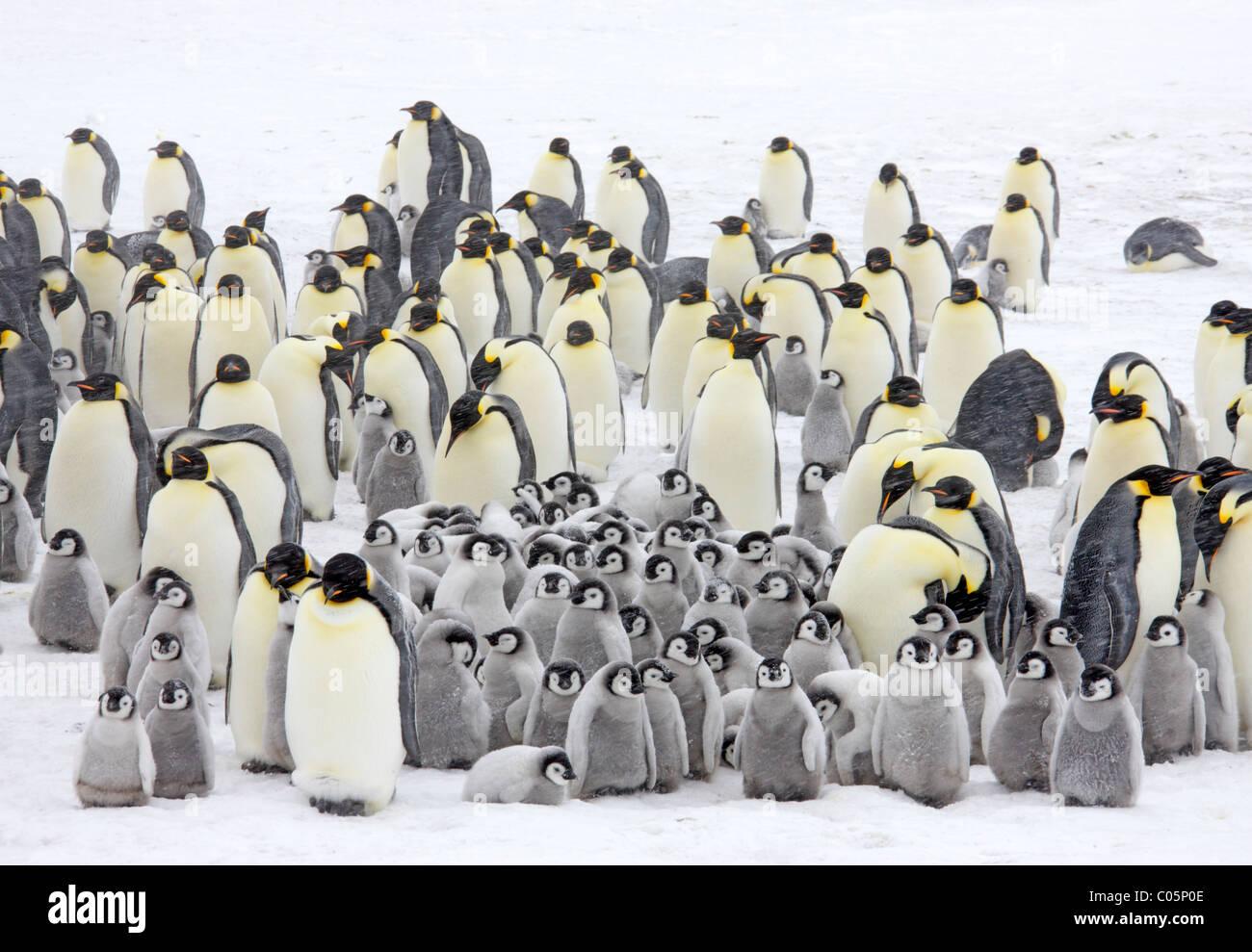 emperor-penguin-colony-in-a-snow-storm-o