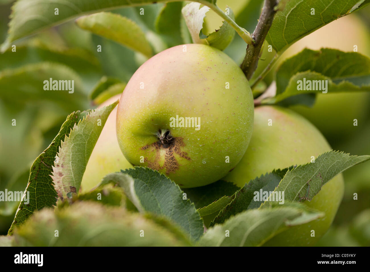 green apple fruit tree. a green apple cluster on tree branch. crispin with little scab surrounded by other apples and leaves. fruit