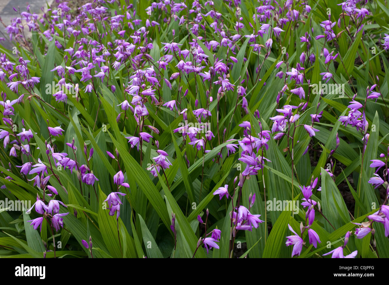 Spathoglottis Orchids Are Easy To Cultivate Here And Sought After For Pretty Flowers Evergreen Foliage Leaves Long Slender
