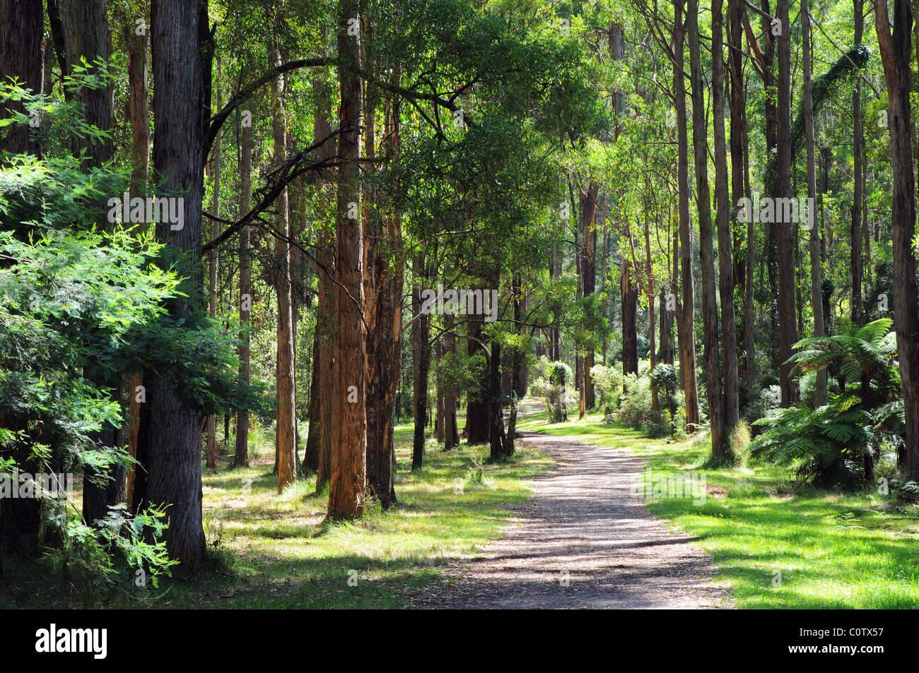 Sherbrooke Australia  city images : ... eucalyptus trees of Sherbrooke Forest, Dandenongs, Victoria Australia