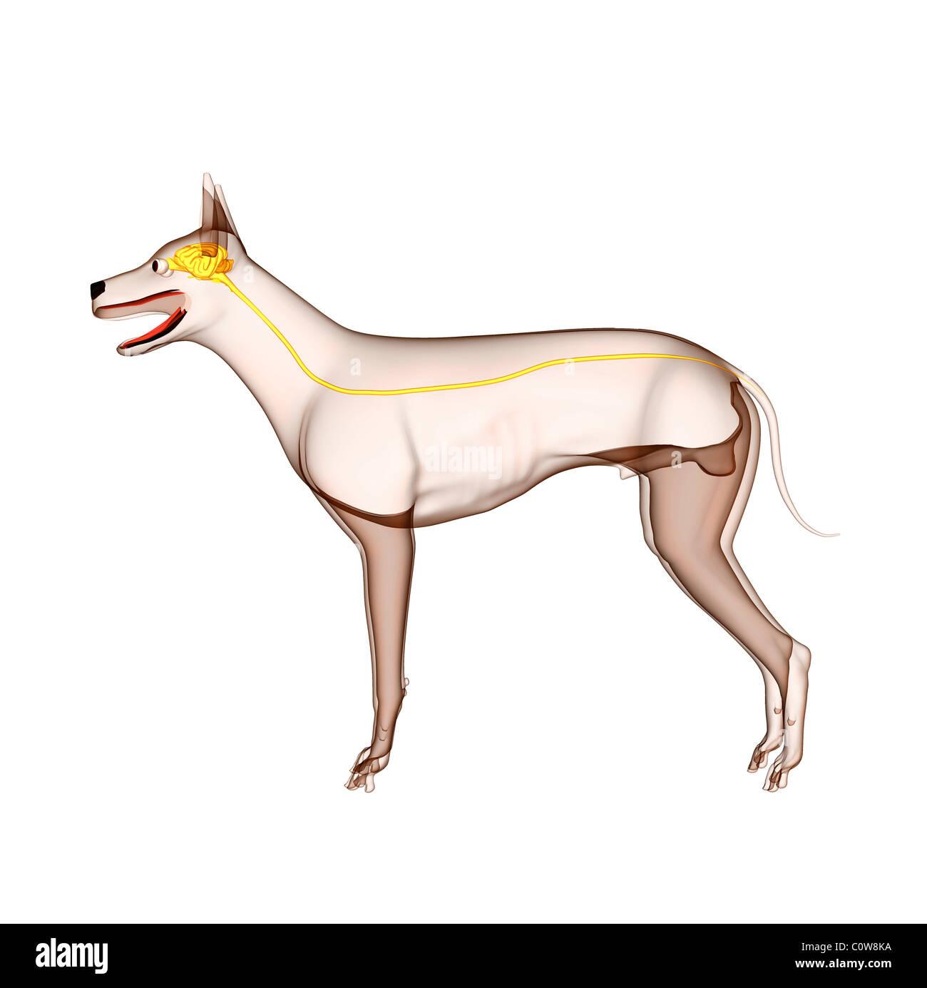 Anatomy of dog stomach