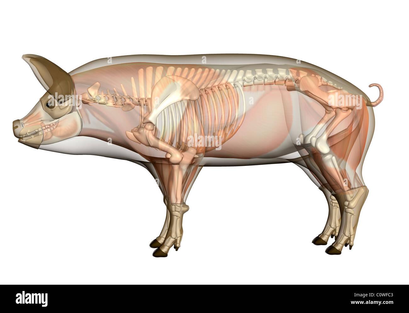 Pig anatomy vs human anatomy