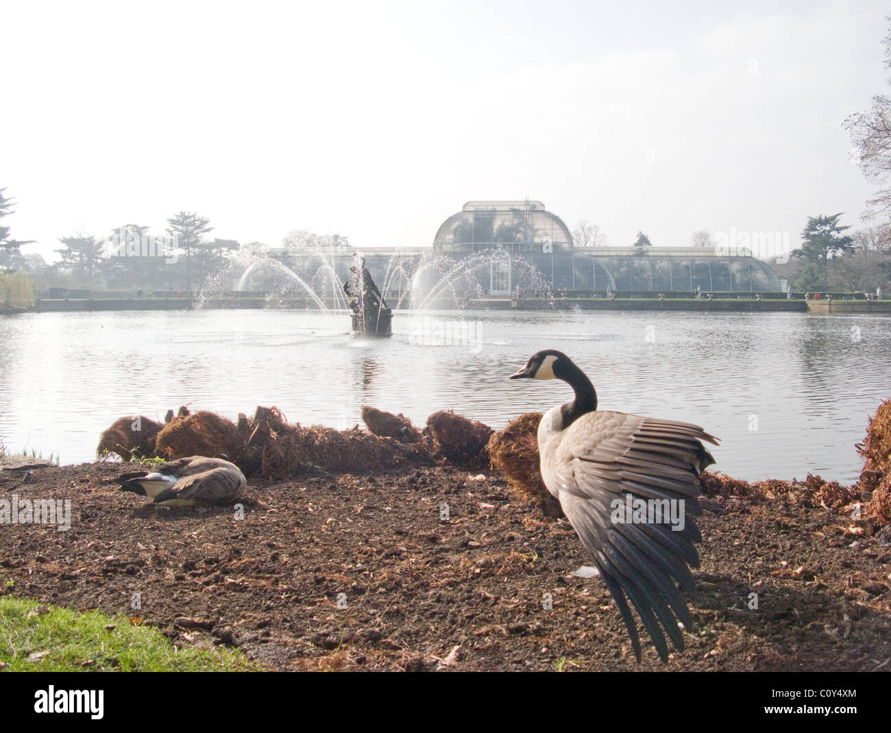 Canada Goose cheap - A Canada Goose Stretches Its Wing In Kew Gardens, London. In The ...
