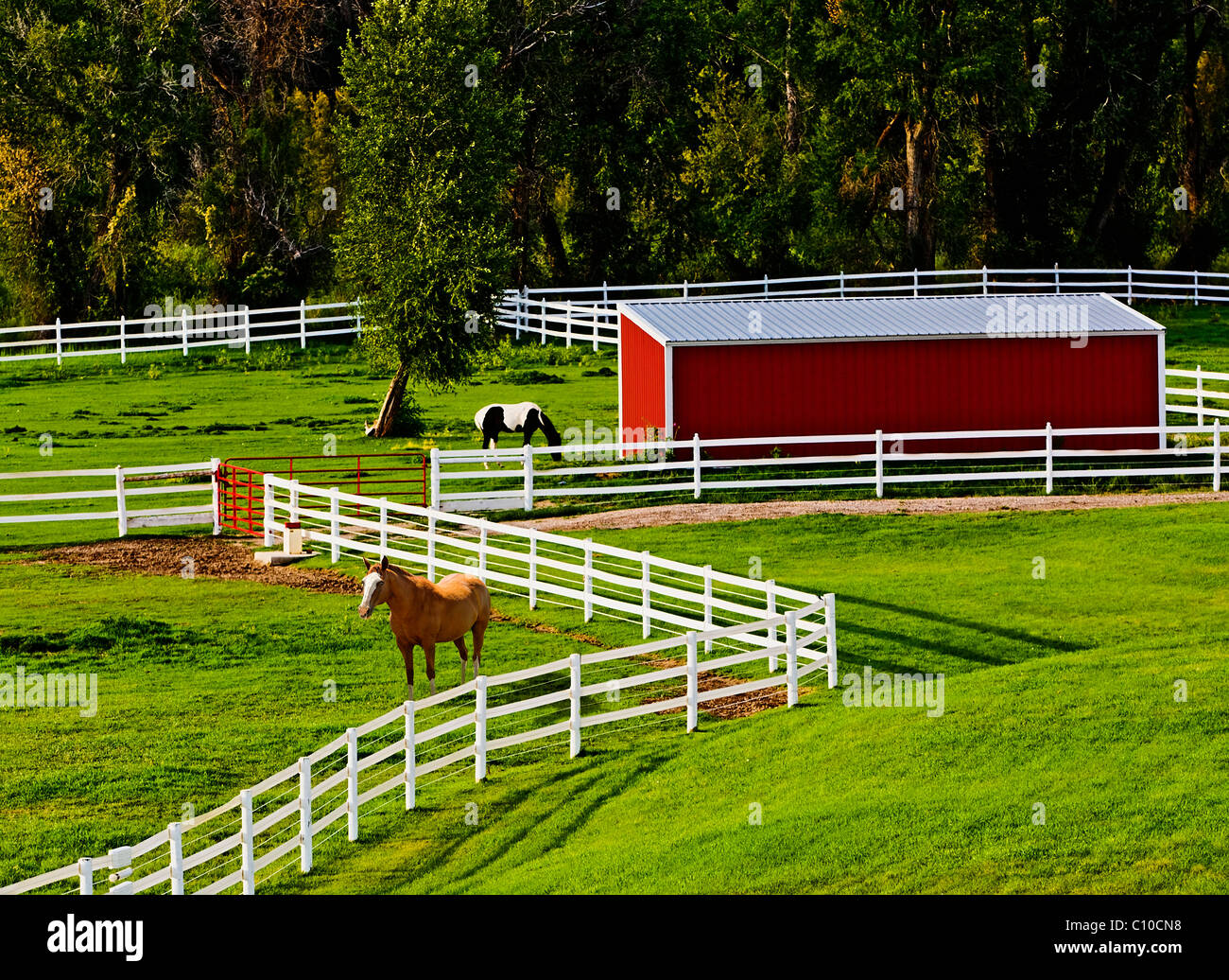 Cow on green pasture with red barn with grain silo royalty free stock - Horses And White Picket Fence On Pasture With Red Barn Stock Image