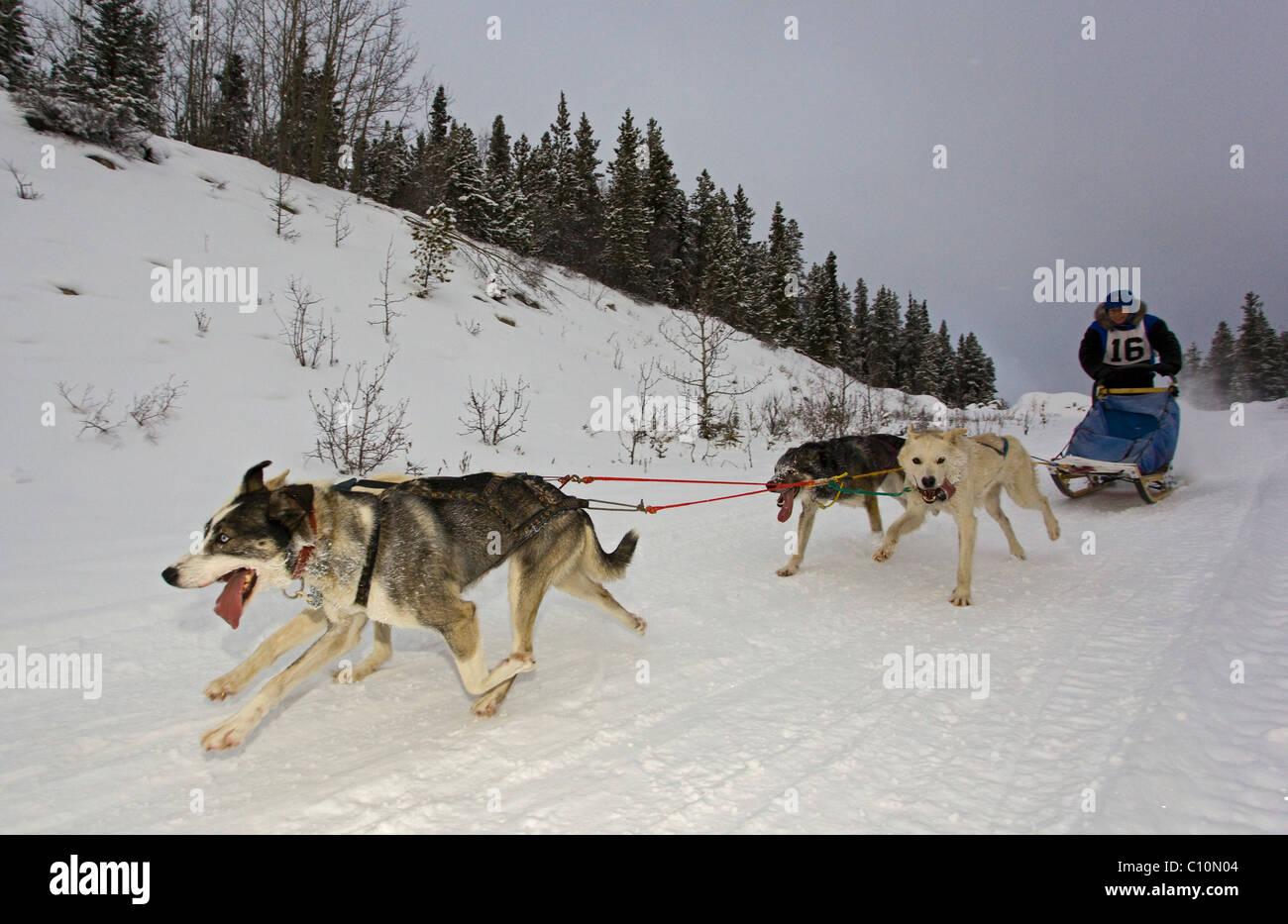 Running sled dogs, dog team, Alaskan Huskies, musher, dog ...
