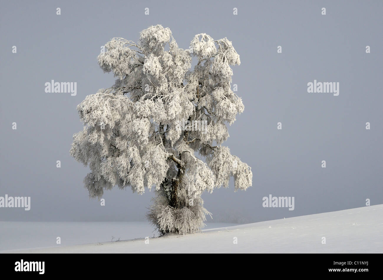 Silver Birch (Quercus robur) covered in thick hoar frost Stock ...