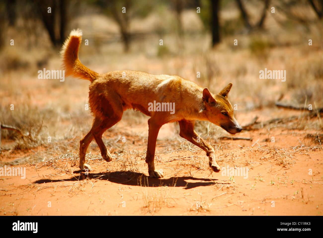 dingo and australian dingoes