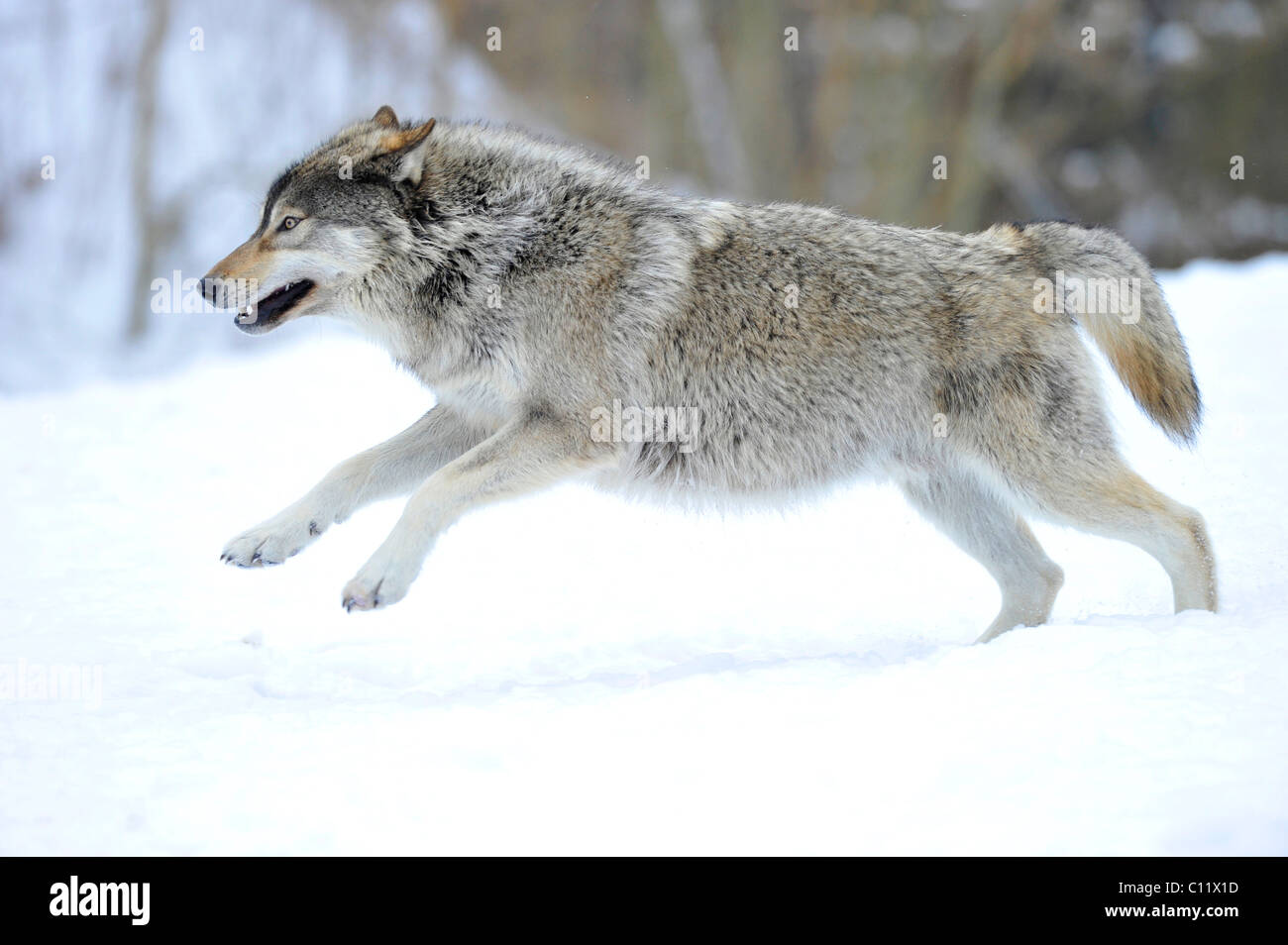 Mackenzie valley wolf - photo#28