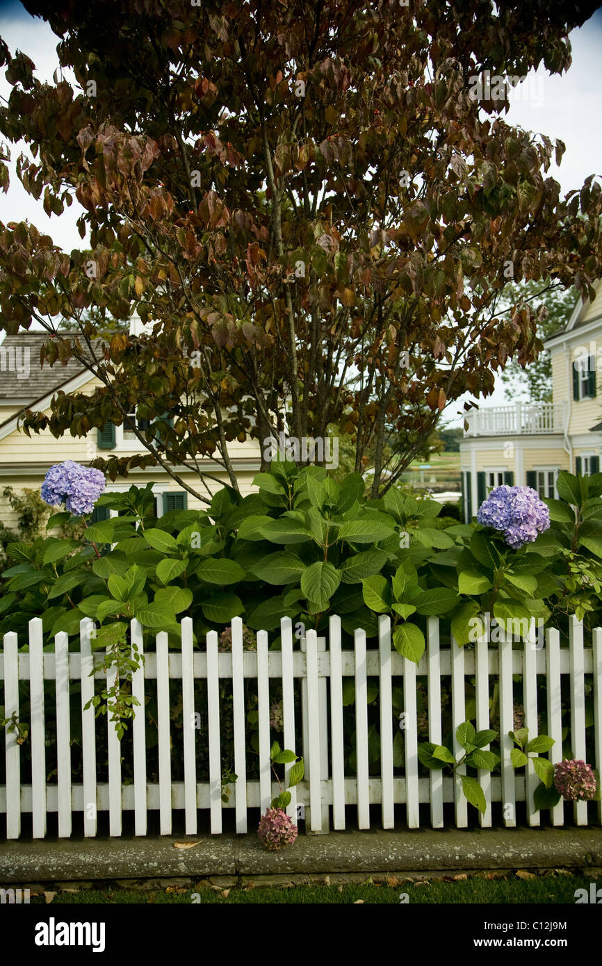 White Picket Fence, Hydrangea Bushes, Fall Colors, Purple, Light Blue  Flowers, Suburban Lawn, Garden