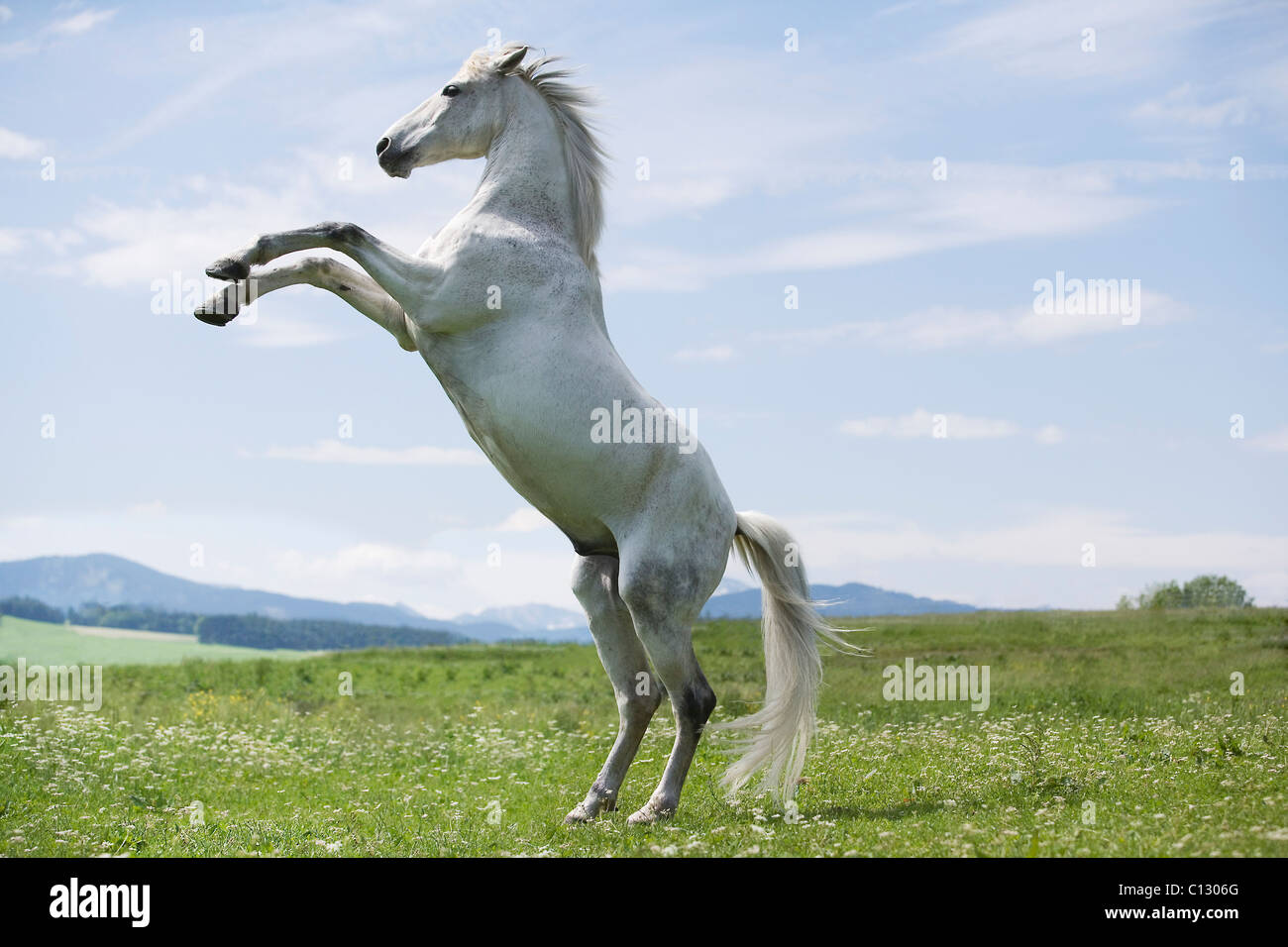 white horse jumping on meadow Stock Photo, Royalty Free ...