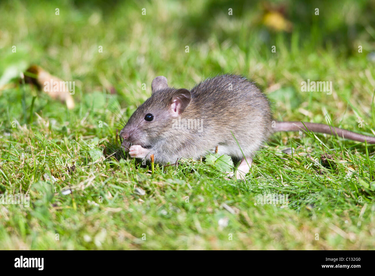 brown rat rattus norvegicus baby animal feeding on birdseed in stock photo royalty free. Black Bedroom Furniture Sets. Home Design Ideas