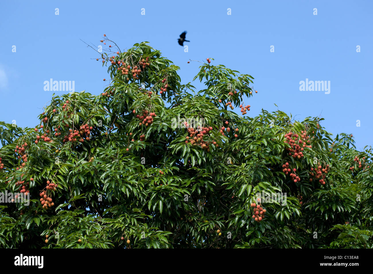 lychee tree in fruit litchi chinensis. here cultivated and in, Beautiful flower