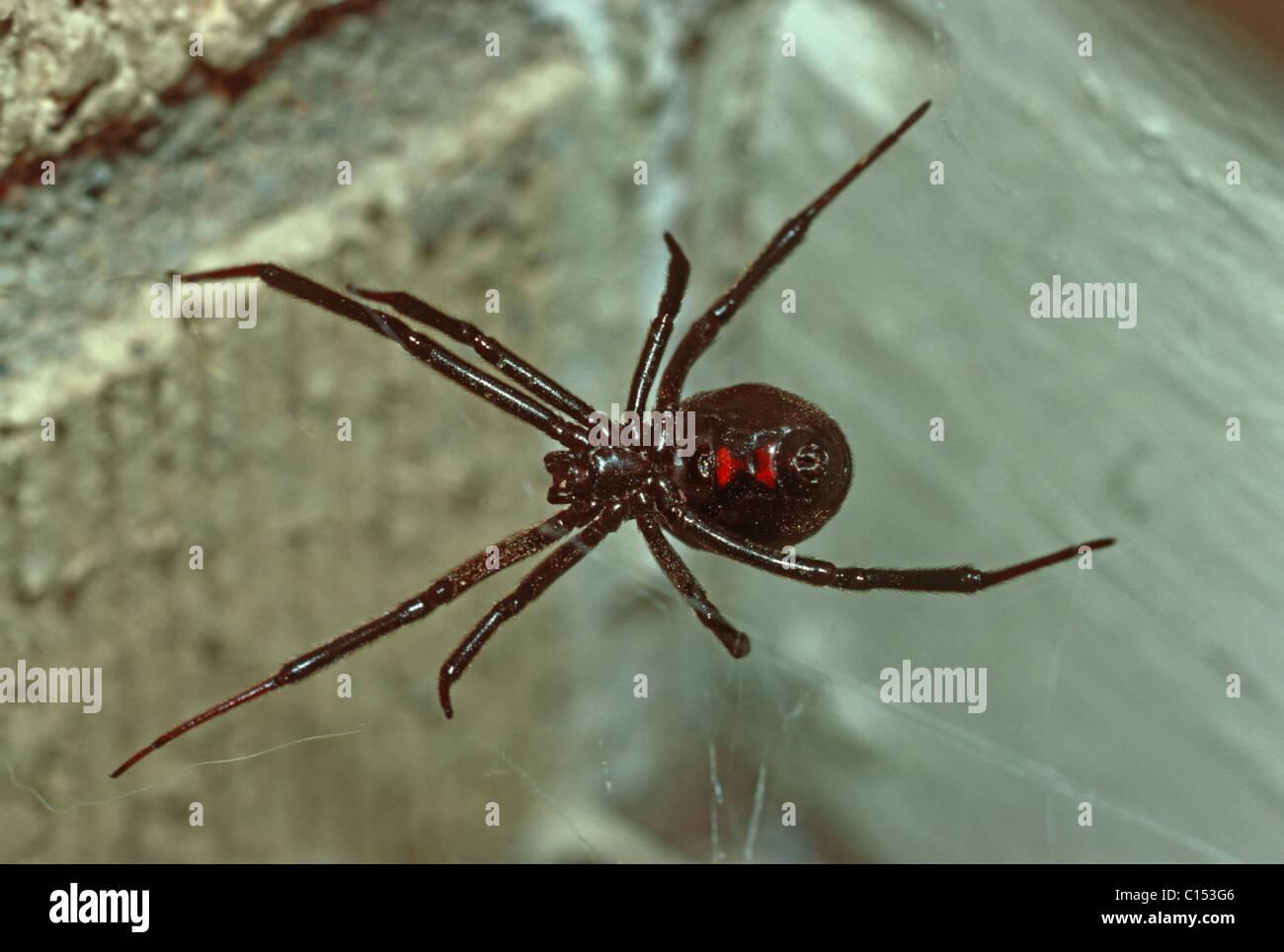 Black Widow spider (Latrodectus mactans) on web near front door of home Colorado US. & Black Widow spider (Latrodectus mactans) on web near front door of ... Pezcame.Com