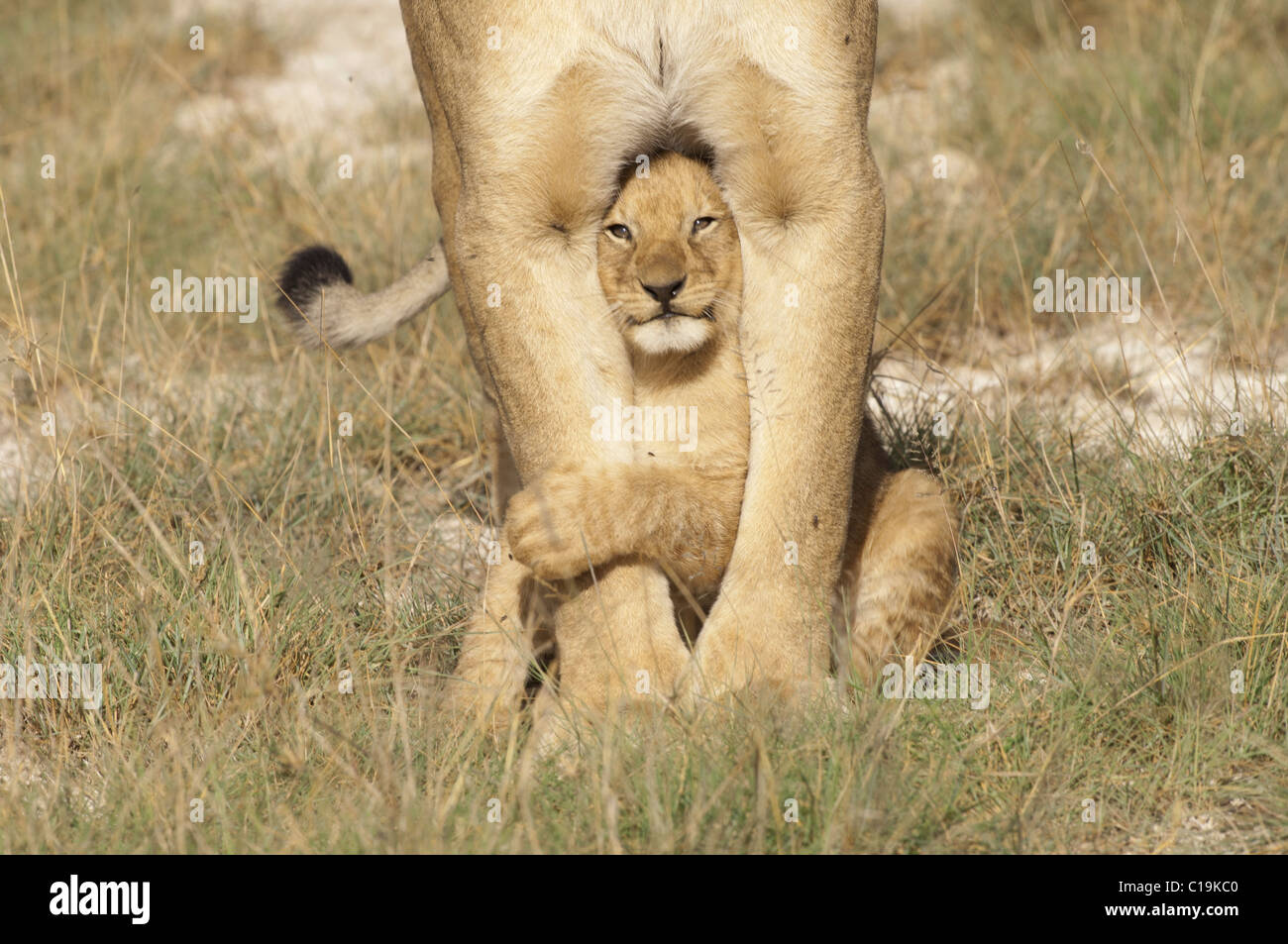 stock photo of a lion cub standing under her moms legs