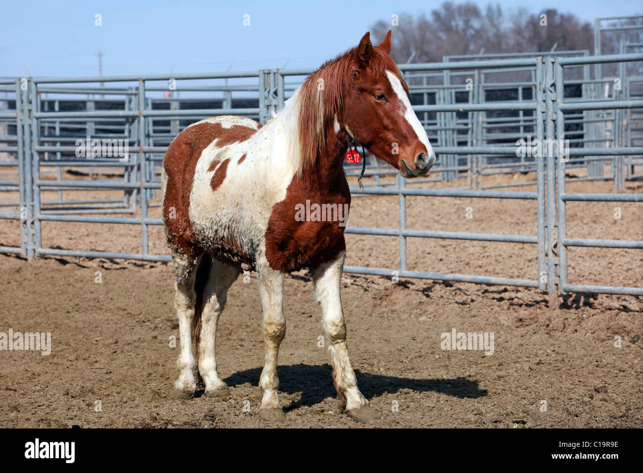 Wild Mustang White And Brown Horse In Corral After Roundup